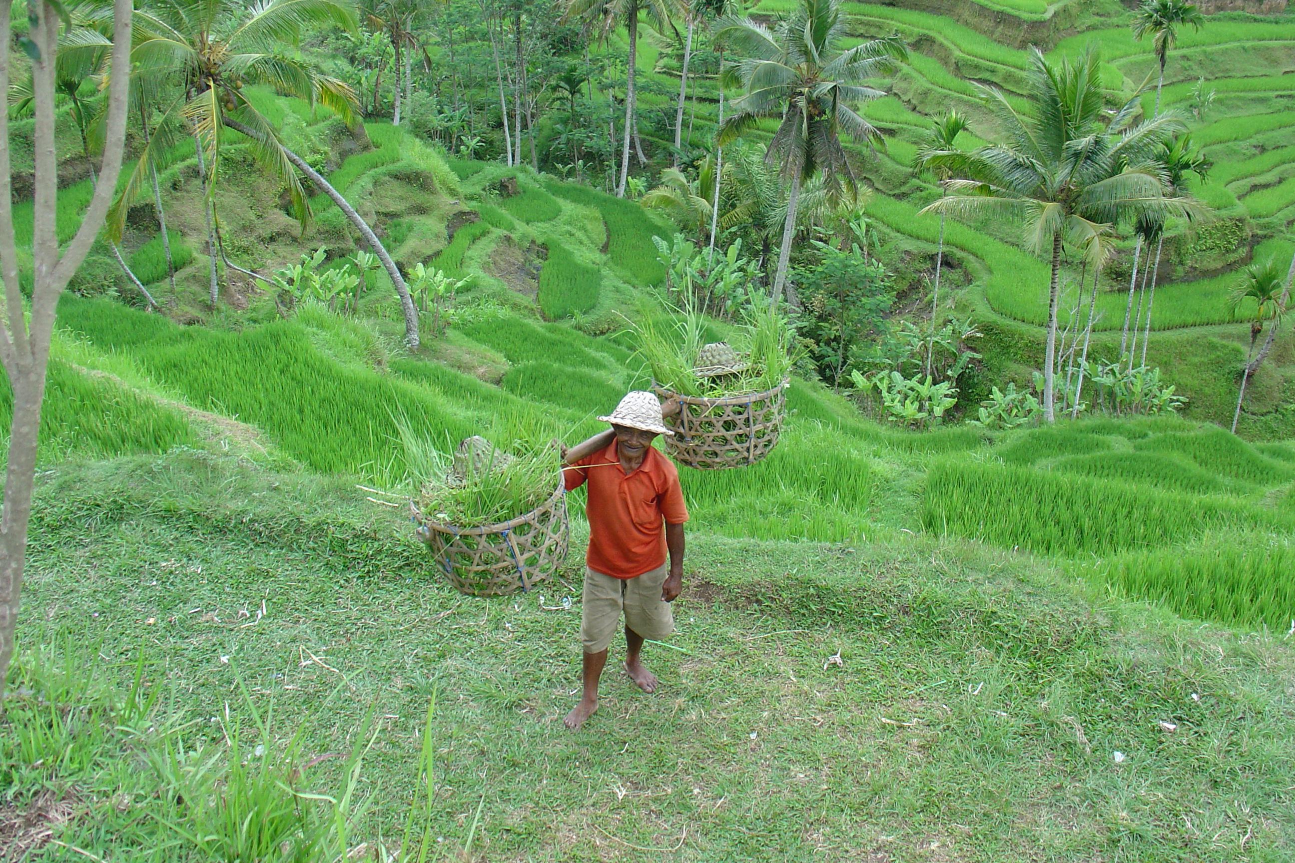 coltivatore di riso